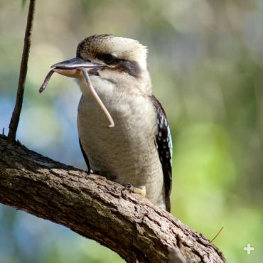 Even though they are kingfishers, laughing kookaburras eat more insects, reptiles, frogs, and rodents than fish.