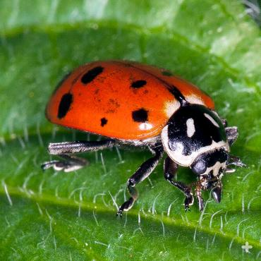 Ladybugs roam up and down a plant in search of a tasty treat.