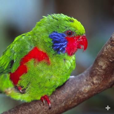 Two toes in front and two toes in back help lories and lorikeets like this western red-flanked lorikeet move about easily in tree branches and on the ground.