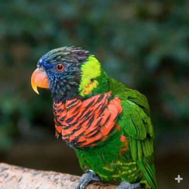 Guests can feed nectar to green-nape lorikeets, like this one, in the Safari Park's Lorikeet Landing aviary.