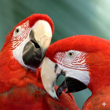 Macaws usually live in pairs, and after the nesting season, in family groups. When adult macaws choose mates, they usually stay together until one of them dies.