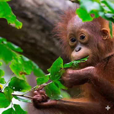 Orangutans, like this baby, spend most of their lives in trees and travel by swinging from branch to branch with their long arms.