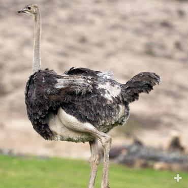 The heavy ostrich cannot fly; instead, it's built to run. Its long, thick, and powerful legs can cover great distances without much effort, and its feet have only two toes for greater speed.