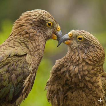 The San Diego Zoo has a breeding pair of keas, native to alpine and forest regions of New Zealand.