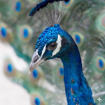 "The peacock's ability to attract peahens is directly related to the perfection of his spectacular train, including its overall length, the number of iridescent ""eyes"" that are present, and even their pattern symmetry."