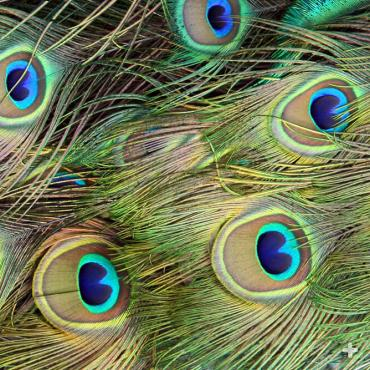 The blue-eyed feathers of the male's train are dropped once a year, replaced with new feathers.