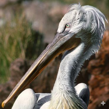 The Dalmatian pelican's nape feathers earn it an alternative name: curly headed pelican.