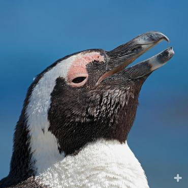 One of the African penguin's most distinctive features is a small pink gland above each eye, which helps them cope with high temperatures in South Africa.