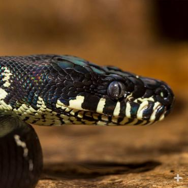 The colorful Boelen's python was not identified by western science until 1953.