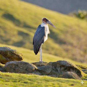 The maribou stork stands nearly 5 feet (1.5 meters) in height.