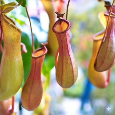 "Close-up of tropical pitcher plant ""traps"""