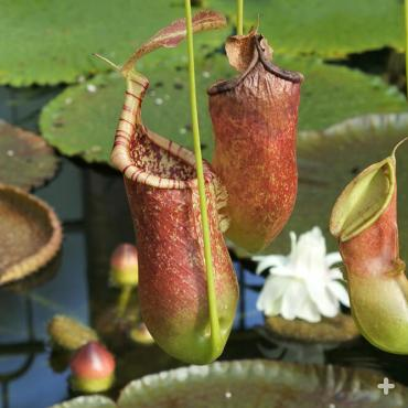 Tropical pitcher plant <em>Nepenthes alata</em>