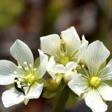 "Venus flytrap flowers grow on tall stalks, keeping pollinators above the ""jaws of death."""