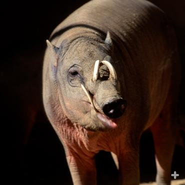 "The word ""babirusa"" means ""pig deer,"" reflecting its barrel-shaped body and tusks reminiscent of antlers."