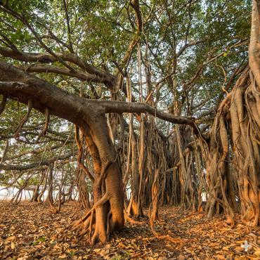 Banyan tree with aerial prop roots.