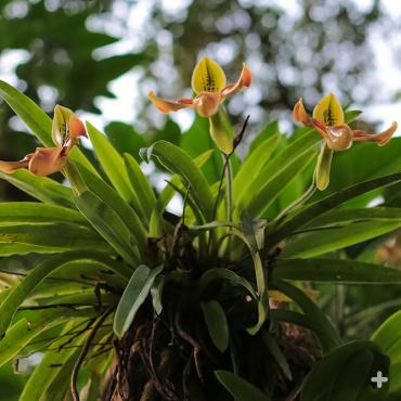 Lady-slipper orchids growing in the jungle.