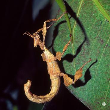 Prickly stick insects are endemic to Australia.