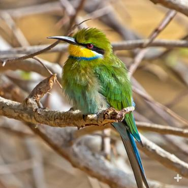 Swallow-tailed bee-eaters make short order of flying insects like honeybees, flies, beetles, butterflies, and grasshoppers.