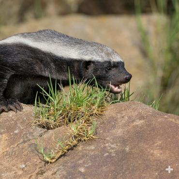 The honey badger's skin is so thick that it can withstand bee stings, porcupine quills, and even dog bites!