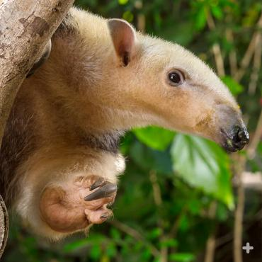 Formidable claws help tamanduas climb rain-slicked trees.
