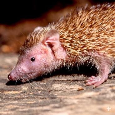 The lesser hedgehog tenrec uses its keen nose to find food.