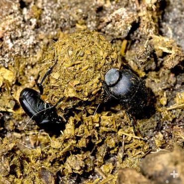 Male and female dung beetles establish pair bonds while rolling dung.
