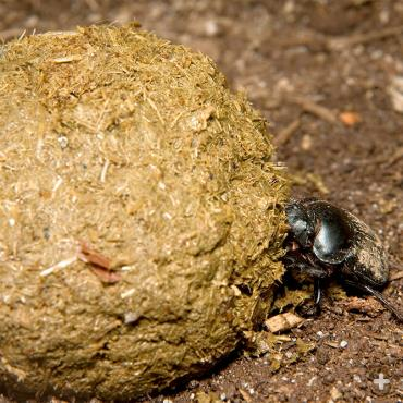 A solo dung beetle rolling a large dung ball.