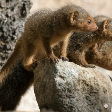 A pair of baby mongooses with their mother.