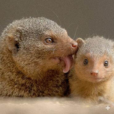 Mother mongoose grooms her small baby.