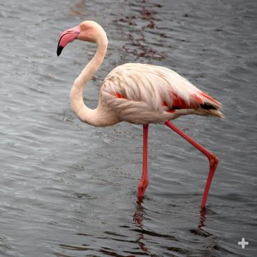 Lesser flamingo in Namibia