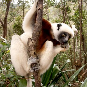 Coquerel's sifaka climbing a tree in Madagascar