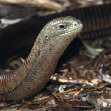 European glass lizard