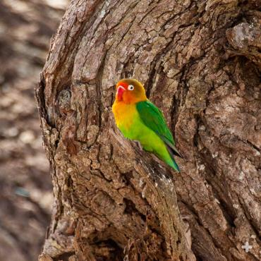 Fischer's lovebird in tree trunk, Tanzania