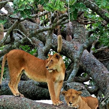 Lions resting in sausage tree