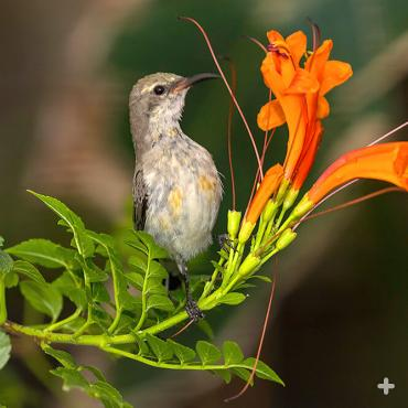 Female beautiful sunbird