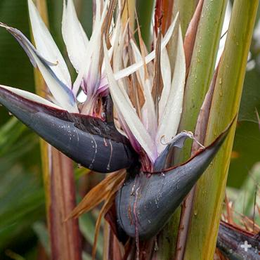 Giant bird-of-paradise