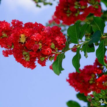 Red crape myrtle flowers