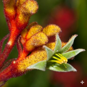 Close-up of a kangaroo paw flower