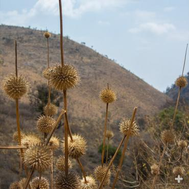 Dried lion's tail flowers house seeds