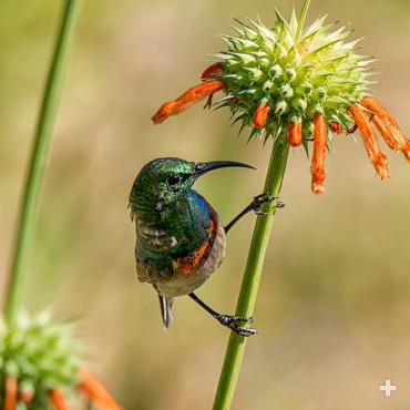 Sunbirds pollinate lion's tail when they feast on its nectar.