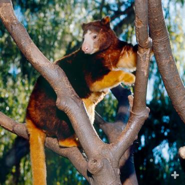 Matschie's tree kangaroo displaying its long tail