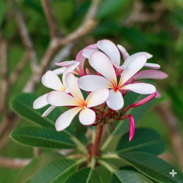 Pink plumeria growing on a tree