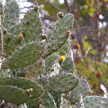 Prickly pear pads with cochineal insect infestation