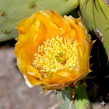 Yellow prickly pear blossom