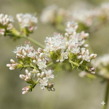 A cluster of wild buckwheat flowers