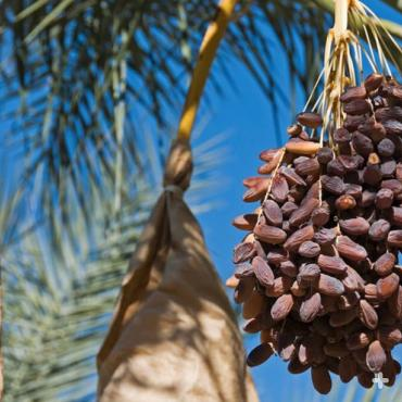Dates ready to harvest in Indio, California.