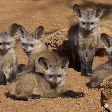 Bat-eared fox kits.