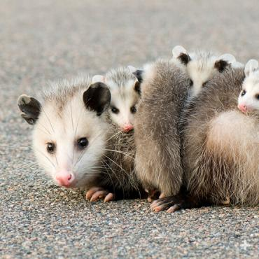 Opossums are marsupials (females have pouches for their young), but as babies get bigger, they hitch a ride on her back.