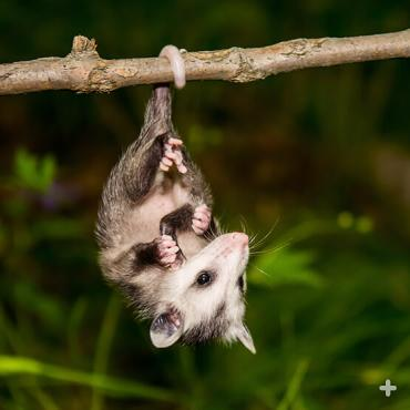 Young opossums can use their prehensile tail to hang upside down. They tend to outgrow this behavior as (heavier) adults.