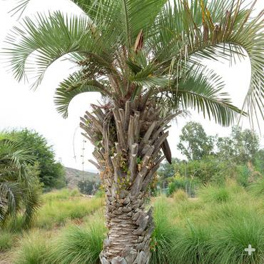 Pindo jelly palm.